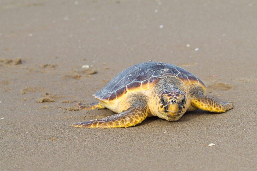 tartaruga marina